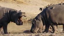 河馬真面目 Hippos: Africa's River Beast 節目