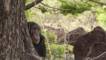 Šimpanzi - téměř lidé pořad