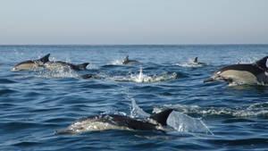 海豚大軍 Dolphin Army