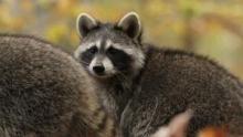 Raccoon: Backyard Bandit show