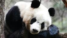 大貓熊 Giant Panda 節目