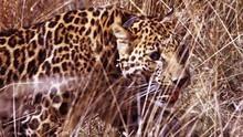 沙漠花豹 Kalahari Supercats 節目