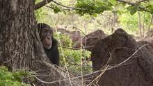 人類近親黑猩猩 Chimps: Nearly Human 節目