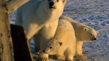 Polar Bear Alcatraz show