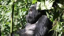 Gorilles : Enquête sur une disparition Voir la fiche programme