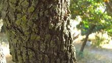 Sakız Ağaçları SAYFAYA GİT
