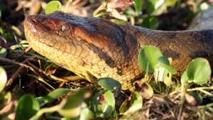 Anaconda: Killer Snake?