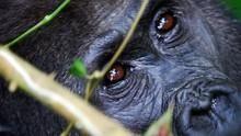 Kongó elfeledett gorillái film