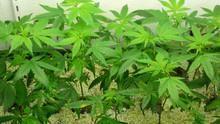 Inside: Marijuana show
