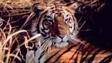 Le sanctuaire des tigres Voir la fiche programme