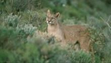 Puma: König der Anden  Programm