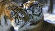Tiger aus dem Schnee Programm