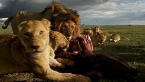 A Serengeti oroszlánjai