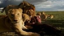 A Serengeti oroszlánjai film