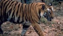 Tigrisháborúk film