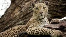 La regina dei leopardi programma