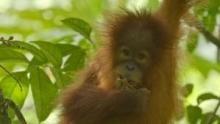Orangutánok édenkertje film