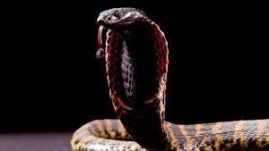 La familia Cobra