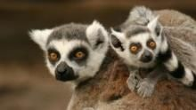Madagascar's Legendary Lemurs Program