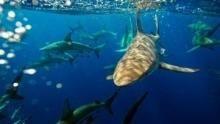 Shark Alley: Jagdrevier der Haie Programm