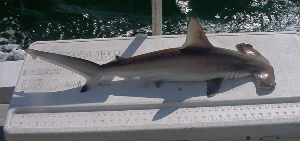 United Sharks of America