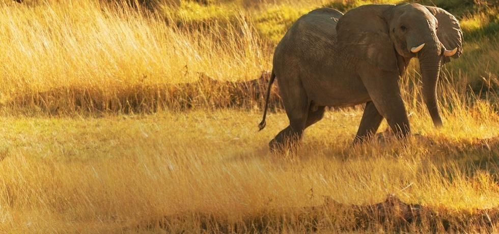 Regina elefant
