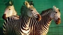 Wild Mozambique show