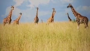 Giraffen: Afrikas jätte
