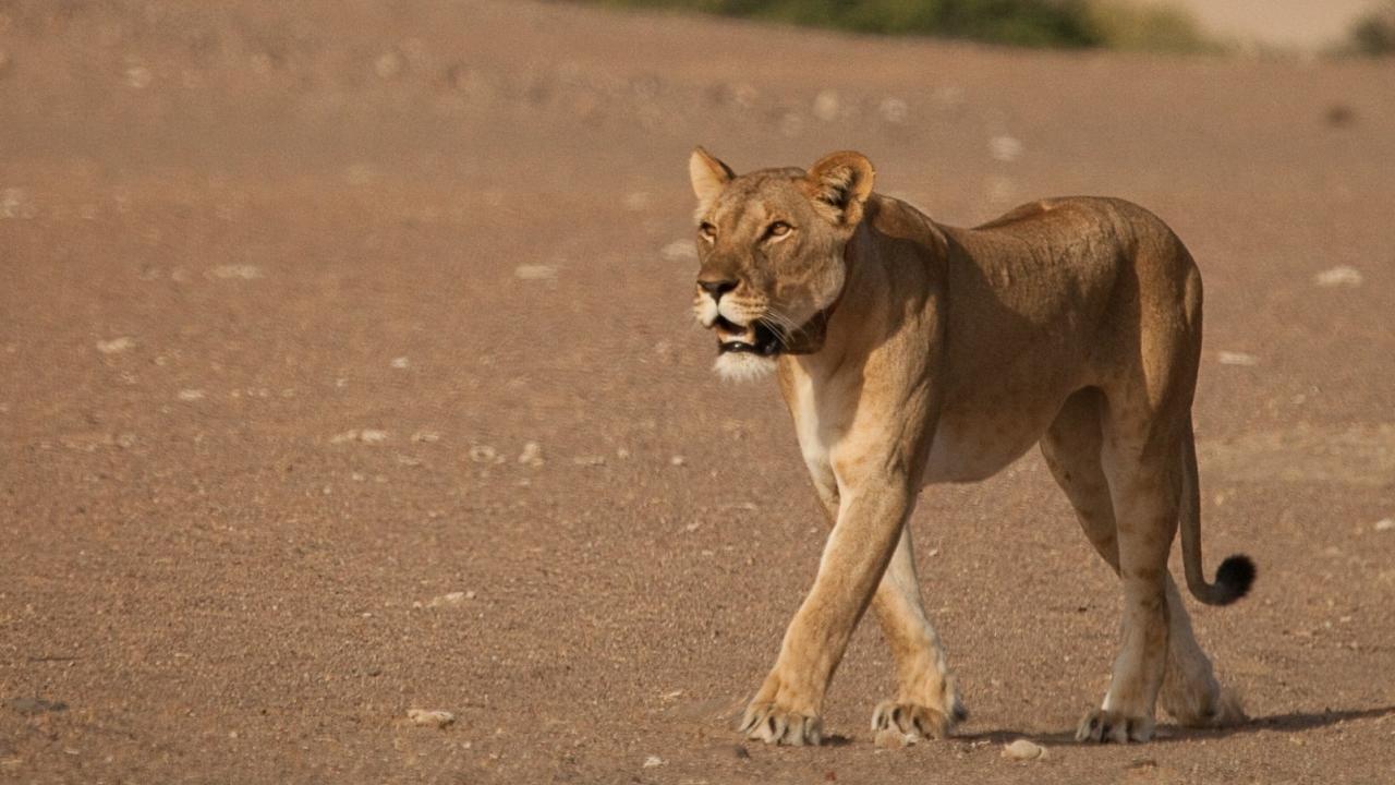 vanishing kings desert lions of namib big cat week national