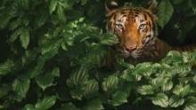 Tiger auf der Flucht Programm