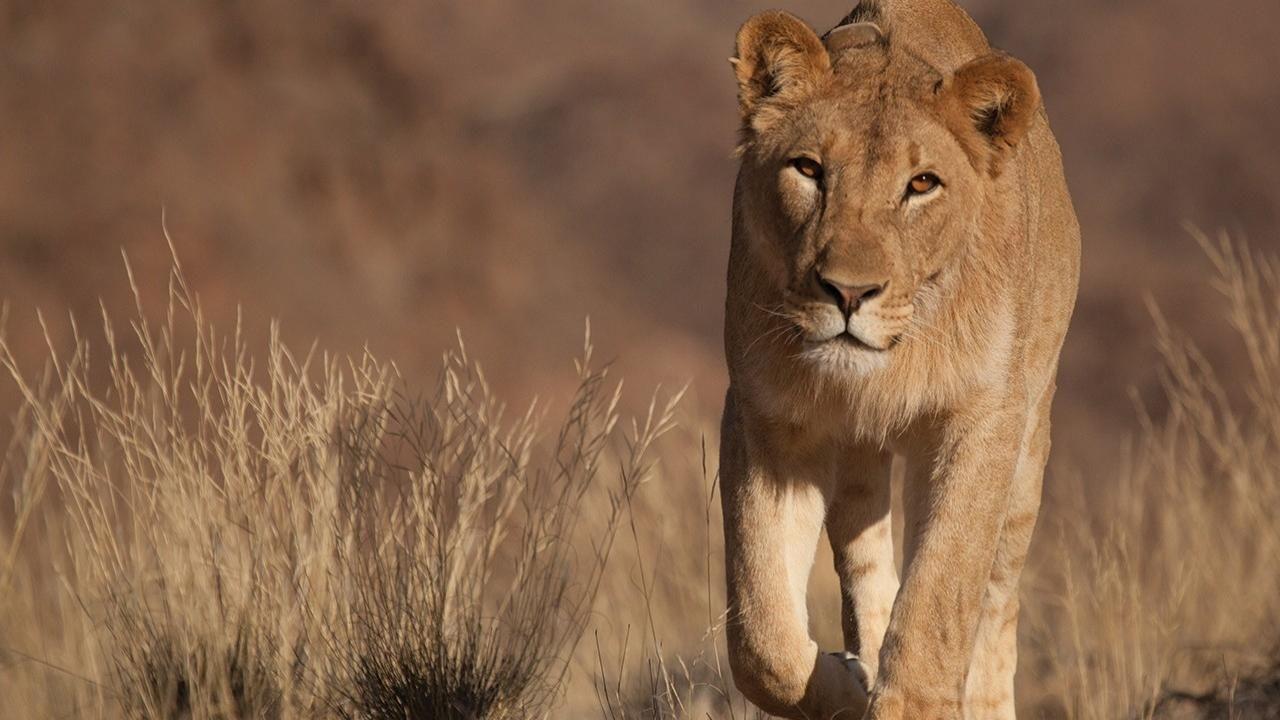 survivor lions photos vanishing kings desert lions of the namib