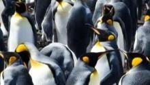 Wild Islands: Falklands show