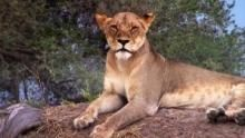 Die Königin der Löwen Programm