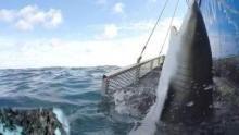 Surprinzătorii rechini documentar