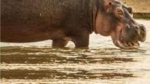 Rivalii: Hipopotami contra lei documentar