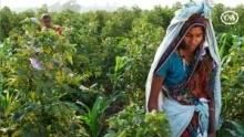 Gyapot – a divat növénye film