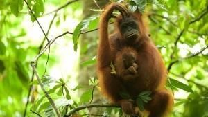 Mission Critical: Orangutan On The Edge