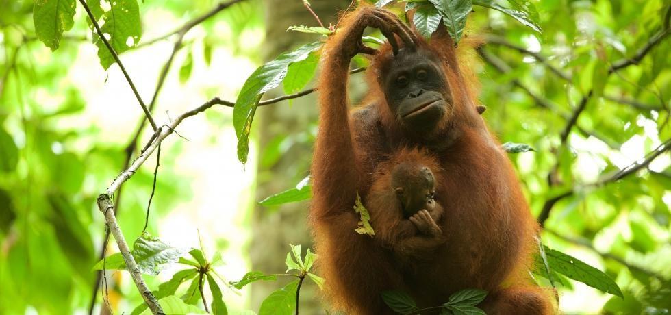 滅絕救援:紅毛猩猩