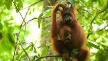 滅絕救援:紅毛猩猩 節目