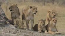 Safari Brothers show
