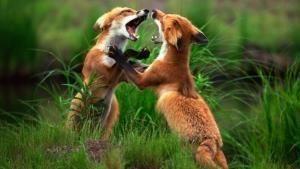 نادي قتال الحيوانات