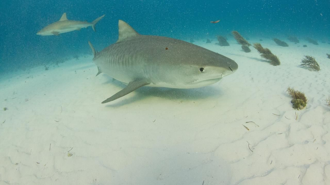 tiger shark terror national geographic channel international
