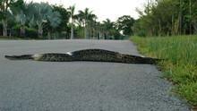 Giant Python Invasion show