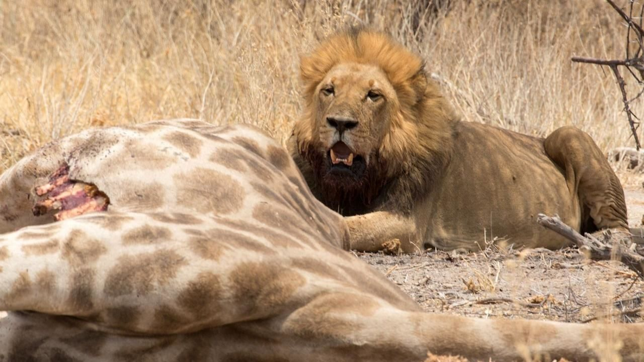 desert lions national geographic channel asia
