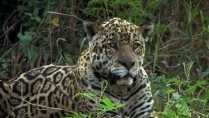 Jaguar vs. Croc show