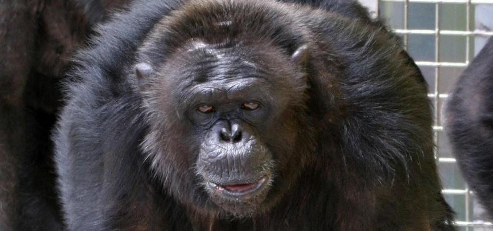 American Chimpanzee