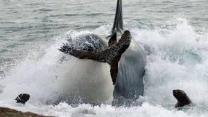 Orca Killing School