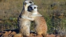 Clan Of The Meerkat show