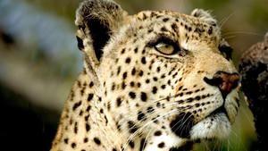 Leopard Queen Programma