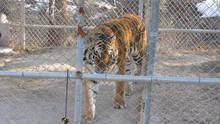 Zoo Tiger Escape show